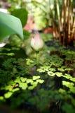 W stawie piękny lotosowy kwiat Obrazy Royalty Free