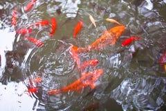 W stawie staw ryba Zdjęcia Royalty Free