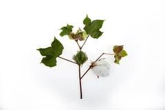 W studiu rośliny bawełniany zbliżenie Fotografia Stock