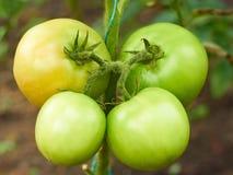 W szklarni cztery zielonego pomidoru Fotografia Royalty Free