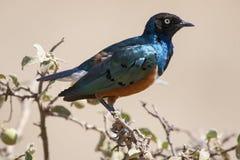 W Tanzania piękny barwiony ptak Fotografia Stock