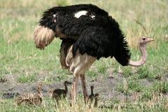 W Tarangire Park Narodowy męski Struś. Afryka Fotografia Stock