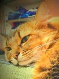 W ten sposób mocno być kotem Zdjęcia Royalty Free