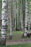 W ten sposób wiele piękna brzoza w lesie Zdjęcia Stock