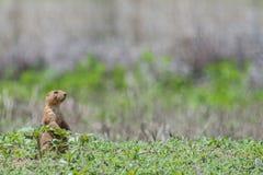 W trawie preria pies Obraz Royalty Free