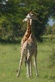 W Uganda walczące Żyrafy Obraz Royalty Free