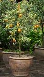 W vase01 pomarańczowy drzewo Zdjęcia Stock