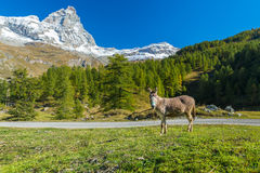 W Włochy łąkach osła pasanie. Obrazy Royalty Free
