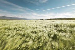 W wiatrze Wheatfield dmuchanie Zdjęcia Stock