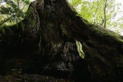 w wieku drzew Obrazy Royalty Free
