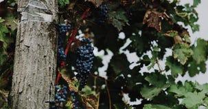 W winnicy wiązki czerwoni winogrona są wieszać konar zbiory wideo