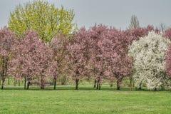W wiośnie, colorfully kwitnie drzewa w parku obraz stock