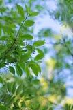 W wiośnie młodzi liście kwitną na gałąź świeże zioła odnowienie natura fotografia royalty free