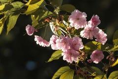 W wiośnie w ogrodowych pięknych dekoracyjnych czereśniowych okwitnięciach - Sakura fotografia stock