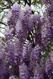 W wiośnie suty kwiat żałość zdjęcia royalty free