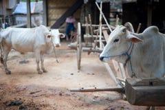 W wiosce bydła zebu (Bos primigenius taurus) Zdjęcia Royalty Free