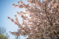 W wiosna czereśniowy drzewo Zdjęcie Stock