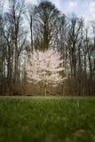 W wiosna czereśniowy drzewo Fotografia Royalty Free
