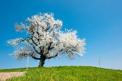 W wiosna pojedynczy target28_0_ drzewo Zdjęcia Royalty Free