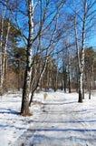 W wiosna słonecznym dzień brzozy drewno Zdjęcia Stock