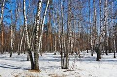W wiosna słonecznym dzień brzozy drewno Obraz Stock