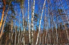 W wiosna słonecznym dzień brzozy drewno Zdjęcie Stock