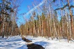 W wiosna słonecznym dzień brzozy drewno Obrazy Royalty Free