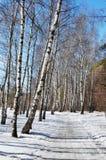W wiosna słonecznym dzień brzozy drewno Obraz Royalty Free