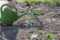 W wiosny ręce nawadnia truskawkowej rośliny z małym podlewaniem obraz stock