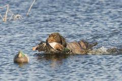 W wodzie łowiecki pies Zdjęcia Stock