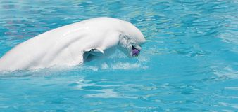 W wodzie bieługa wieloryb (biały wieloryb) Fotografia Royalty Free