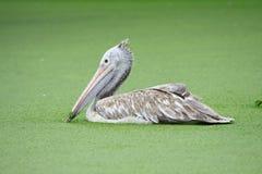 W wodzie jeden Pelikan Fotografia Royalty Free