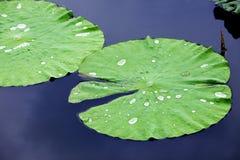 W Wodzie lotosowy liść, Zdjęcie Stock