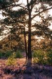 W wrzosu pięknym krajobrazie drzewo Obrazy Royalty Free