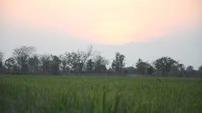 W wsi ryżowi pola zbiory