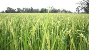 W wsi ryżowi pola zbiory wideo