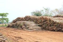 W zapasie Ecalyptus drzewo Zdjęcia Stock