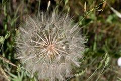 W zawiły sposób Wildflower Seedhead Obrazy Royalty Free