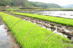 w zielonej linii ryżu Obraz Royalty Free