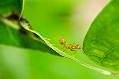 W zielonej naturze czerwona mrówka Fotografia Royalty Free