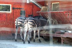 W zoo, dwa zebry jedzą obraz royalty free