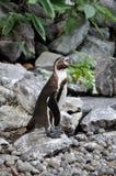 W zoo Humboldt pingwin Fotografia Stock
