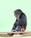 W zrelaksowanym nastroju szympansa mądrze obsiadanie (szympans) Obrazy Stock