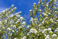 Wałkowy Czereśniowy drzewo Obraz Stock