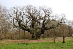 Ważny dąb, Sherwood las Nottinghamshire Anglia Zdjęcia Stock