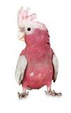 Ważny Mitchell kakadu na białym tle Obrazy Royalty Free