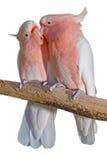 Ważni Mitchell kakadu Zdjęcie Stock