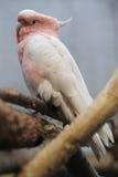 Ważny Mitchell kakadu Zdjęcie Stock