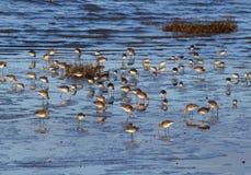Waadvogels in Baai Morecambe Stock Afbeeldingen