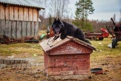 Waakhond die op de cabine op het slechte Russische landbouwbedrijf geeuwen royalty-vrije stock afbeeldingen